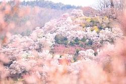 福島 桃源郷 桜