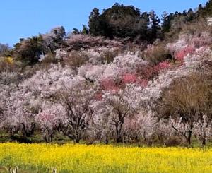 花見山公園 桜 菜の花