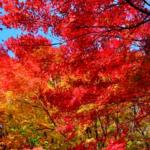 きれいに染まった紅葉