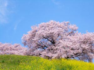 青空 桜 菜の花