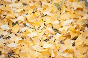黄葉 絨毯