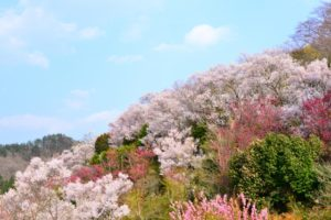 花見山公園 桜 花
