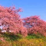 みなみの桜と菜の花まつり 見頃