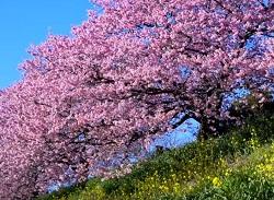 大きな満開の桜の木 菜の花