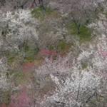 高尾梅郷梅まつり2019の開花状況と見頃。アクセスや駐車場は?