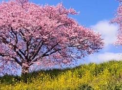 満開の桜 菜の花