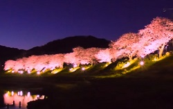 みなみの桜と菜の花まつり 桜のライトアップ