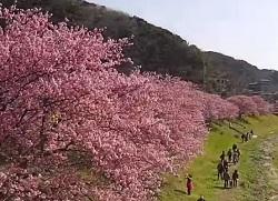 みなみの桜と菜の花まつり 川沿いの満開の桜 観桜客