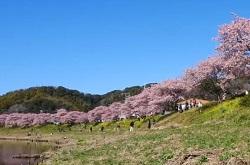 河川敷の桜並木 観桜客