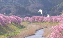 青野川 満開の桜