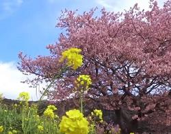 みなみの桜と菜の花まつり 観光