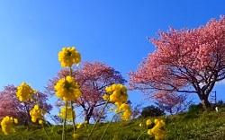 青空に咲く桜と菜の花