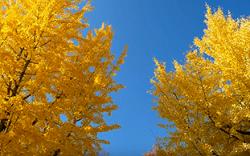 青空と鮮やかな黄葉