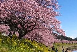 青野川 満開の桜と菜の花