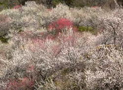 高尾梅郷 満開の梅林