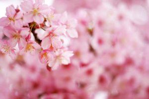 ソメイヨシノ 桜