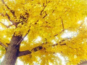 銀杏 黄葉