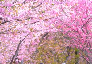 伊豆 河津桜 桜のトンネル
