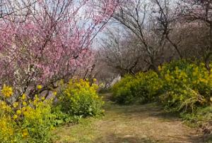 七折梅園 梅 菜の花