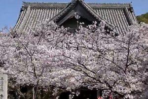 紀三井寺 満開の桜