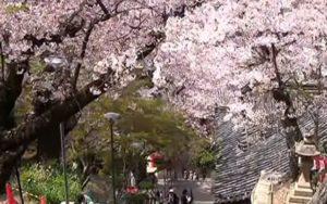 紀三井寺 結縁坂 桜