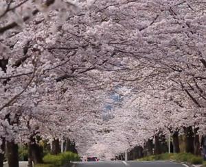 長瀞 北桜通り 桜のトンネル