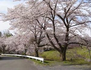 長瀞 井戸の桜並木