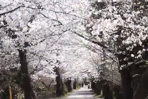 長瀞 南桜通り 桜並木