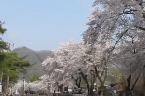 長瀞 宝登山神社 参道の桜