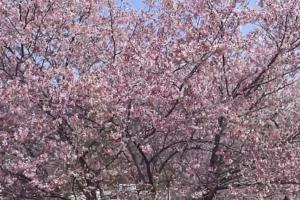 長瀞 満開の岩田桜