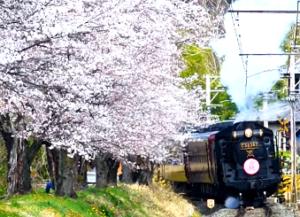 長瀞 SL 桜