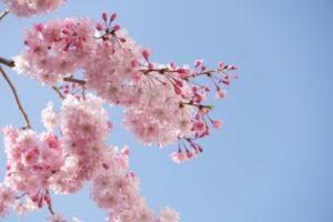 八重桜 青空