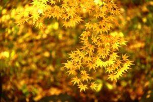 可憐な黄葉