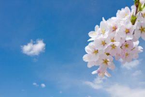 桜 白 青空