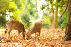 若草山 子供の鹿と紅葉絨毯