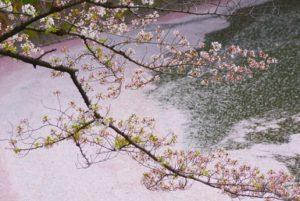 千鳥ヶ淵 桜 花筏