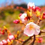 佐久間ダム湖親水公園の桜2019!見頃や開花は?桜祭りの日程は?