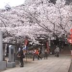 紀三井寺 桜 花見