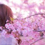 京都桜の名所2019ランキング!お花見の見頃とアクセス方法。