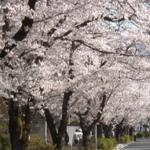 長瀞の桜2020の花見頃と開花!桜まつりやライトアップは?混雑は?