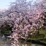 村松公園の桜2020の見頃と開花!桜まつりやライトアップは?屋台は?