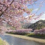 伊豆河津桜2019の見頃と開花状況!桜まつりやライトアップは?
