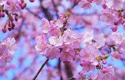 桜 見どころ お花見