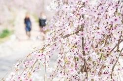 公園 しだれ桜
