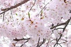 桜 開花状況