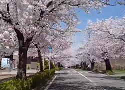 長瀞の桜 トンネル