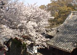 紀三井寺 桜 見頃