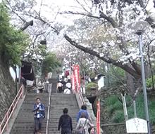表の参道 結縁坂 桜