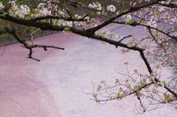 北の丸公園 桜 見どころ