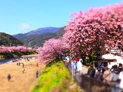 伊豆河津桜 桜並木